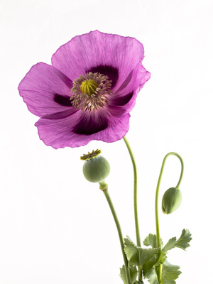 Schlafmohn Blüte Knospe und Kapsel