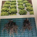 Renzo Pflanzenwachstum 3