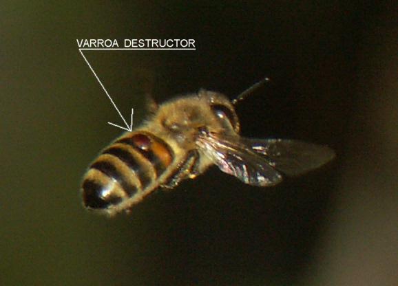 Varroa Biene Wikipedia Varroa_destructor_bee