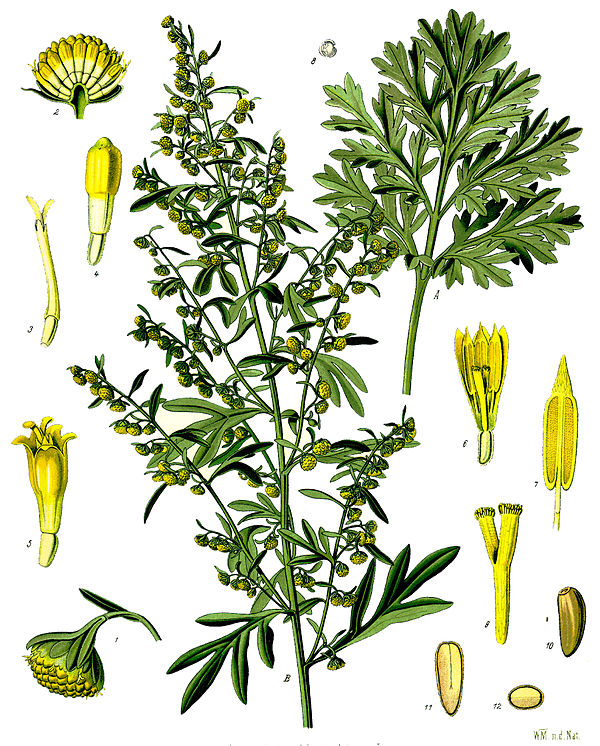 Wermut Artemisia_absinthium_-_Köhler–s_Medizinal-Pflanzen-164 WIKIPEDIA