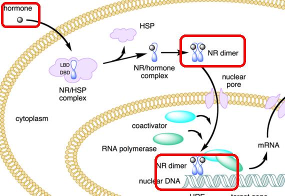 estrogen receptor wikipedia 1