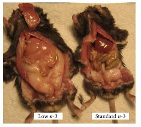 """die linken Mäuse sind über 3 Generationen Omega6-Reich (=low n-3) ernährt worden. Die rechten Mäuse sind ausgewogen ernährt worden (=Standard n-3). Die """"low n-3"""" Mäuse sind alle verfettet und krank, alle Organe sind geschwollen und verfettet. Diese Ernährung entspricht unserer durchschnittlichen menschlichen Ernährung!"""