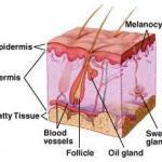 skin_anatomy