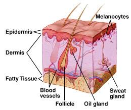 Haut - Anatomie und Aufbau