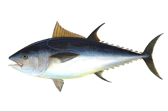 thunfisch wikipedia 640px-Bluefin-big